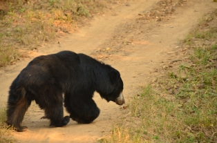 A sloth bear crosses our path as it goes termite hunting